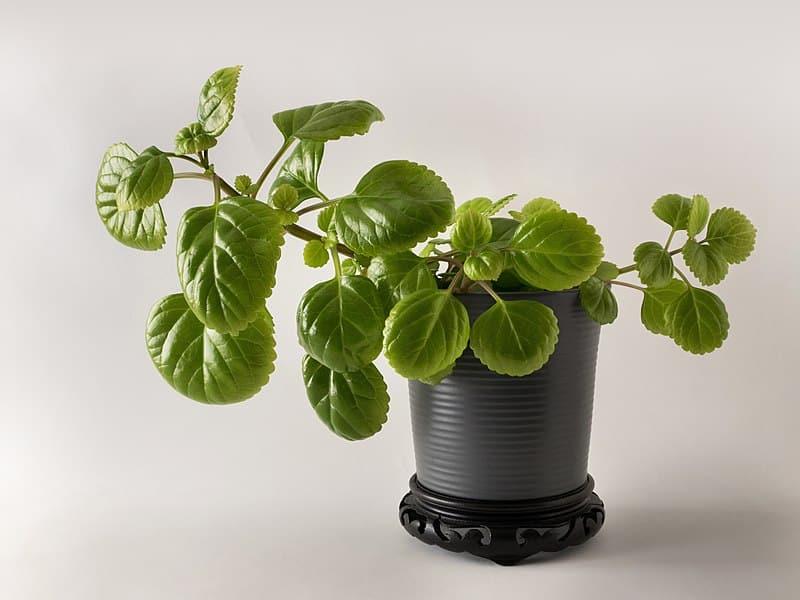 planta-del-dinero