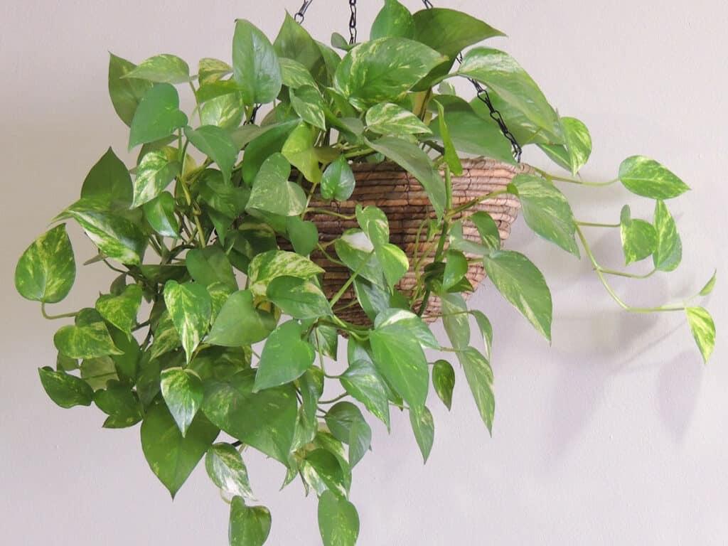 plantas-y-fengshui-poto